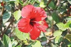 flor-de-jamaica-0.jpg